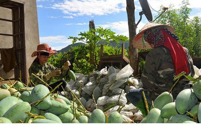 Nông dân Sơn La phấn khởi khi xoài xuất khẩu sang nhiều nước