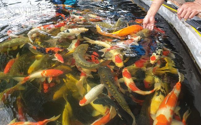 """""""Về quê nuôi cá trồng rau"""" thu tiền tỷ (P2): Nuôi cá Koi ngàn đô dưới ao quê không khó, thuần hóa mới khó!"""