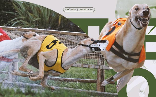 Kỷ nguyên đua chó săn tại Mỹ sắp kết thúc: Hàng ngàn chú chó bị ngược đãi, bị bỏ rơi sau nhiều năm phục vụ thú vui giải trí của con người