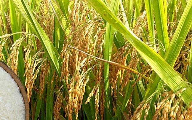 'Nóng' thị trường gạo khi Trung Quốc, Bangladesh và nhiều nước Đông Nam Á săn lùng mua