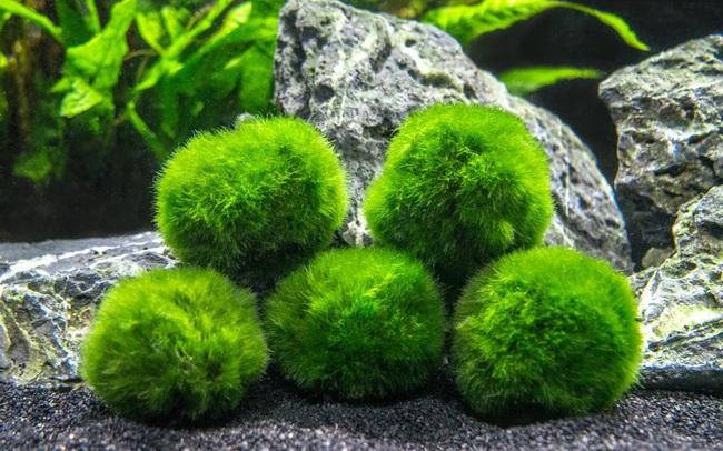Ngoài kiếm, vải và gương, ít ai biết thứ tảo kỳ lạ này cũng được người Nhật tôn sùng như báu vật