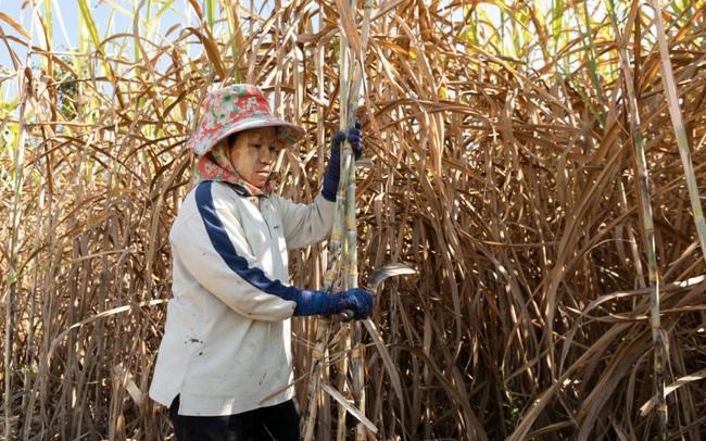 Thái Lan đang làm gì để bảo hộ ngành mía đường?
