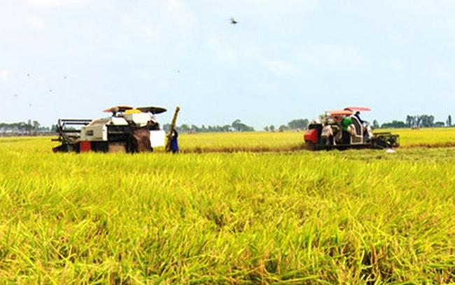 Giá lúa ở Đồng bằng sông Cửu Long tăng cao