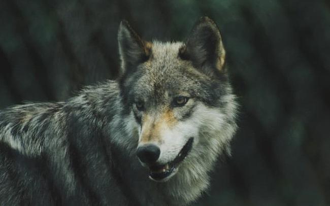 Sếp có tầm sẽ biết dùng thuật 'dẫn dụ sói vào đàn hươu' để nhân viên làm việc tốt hơn