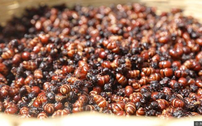 Quốc gia sở hữu nghề cực lãi: Săn kiến và đem bán với giá 2 triệu/kg