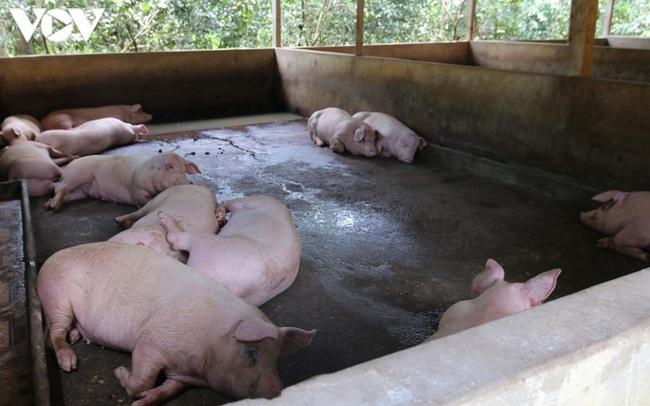 Giá thành chăn nuôi lợn hiện khoảng 50.000-71.000 đồng/kg