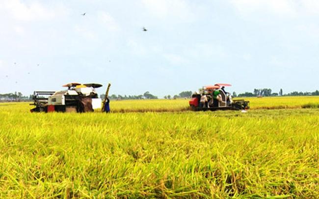 Lúa, gạo ở ĐBSCL cùng tăng giá vào cuối vụ