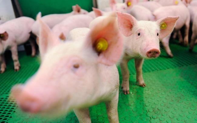 """Sắp có trang trại 1.500 tỷ đồng cung cấp lợn giống """"chuẩn quốc tế"""" cho miền Trung - Tây Nguyên, Đông Nam Bộ"""