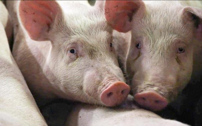 Giá lợn ở Trung Quốc đảo chiều tăng vọt do nguy cơ sản lượng giảm trở lại