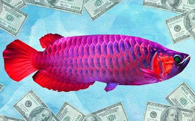 """Bí mật """"điên rồ"""" về loại cá đắt nhất thế giới, thậm chí cao hơn cả xe Ferrari: Có thật sự """"hộ mệnh"""" cho việc kinh doanh, đem lại sự giàu không?"""