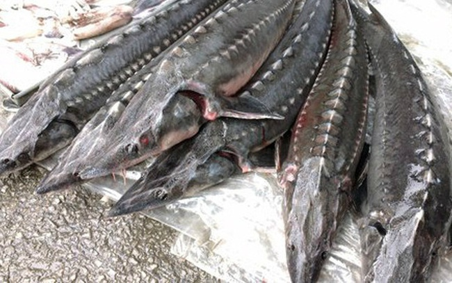 Hải quan sẽ kiểm soát chặt việc nhập khẩu cá tầm