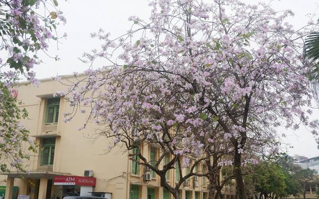 Ở Hà Nội có 1 trường đại học đẹp nhất vào mùa xuân, hoa ban nở rực khắp trời, nhưng muốn ghi danh phải xác định điểm đầu vào cao ngất ngưởng