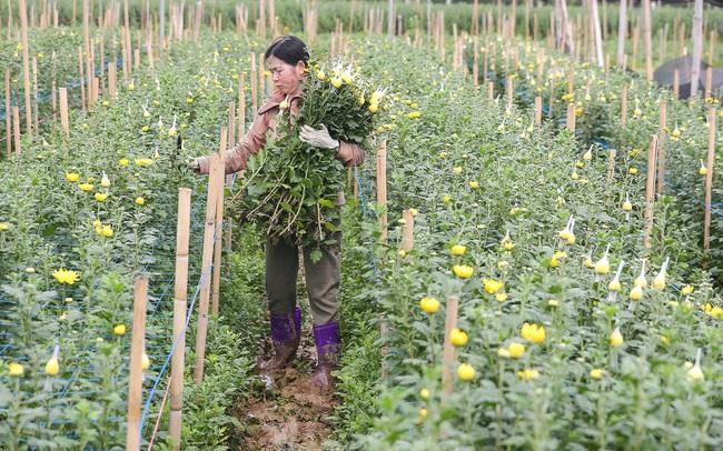 Rằm tháng Giêng, làng Tây Tựu lo 'sốt vó' vì hoa ế ẩm