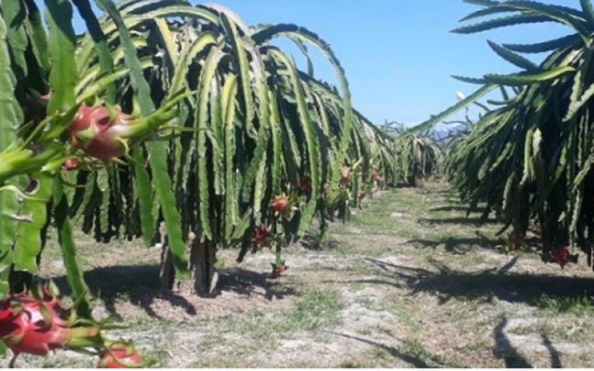 Giá thanh long lên xuống thất thường khiến người trồng lao đao