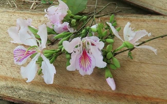 Hoa ban nở bạt ngàn ở Thủ đô: Hóa ra loại hoa này còn có thể làm thuốc chữa bệnh cực hay!