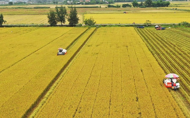 Vì sao cánh đồng mẫu lớn đang nhỏ dần?