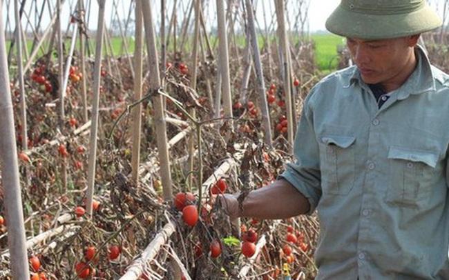 Rớt nước mắt nhìn cà chua rụng đỏ ruộng, không người mua