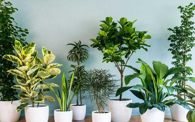 10 loại cây cảnh nên trồng trong nhà vì vừa thanh lọc không khí lại giúp gia chủ tấn tài tấn lộc