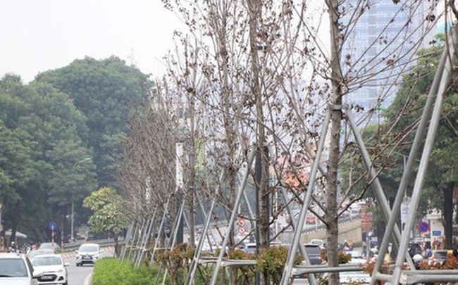 Hà Nội: Trồng cây bàng lá nhỏ thay toàn bộ cây phong lá đỏ trên đường Nguyễn Chí Thanh - Trần Duy Hưng