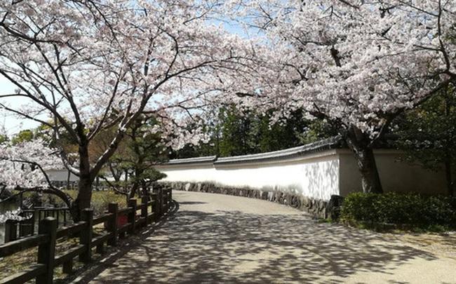 """Có một mùa hoa anh đào Nhật Bản đẹp đến """"tan chảy"""" qua ống kính của du học sinh người Việt: Một khi đã xem thì chẳng thể rời mắt được"""