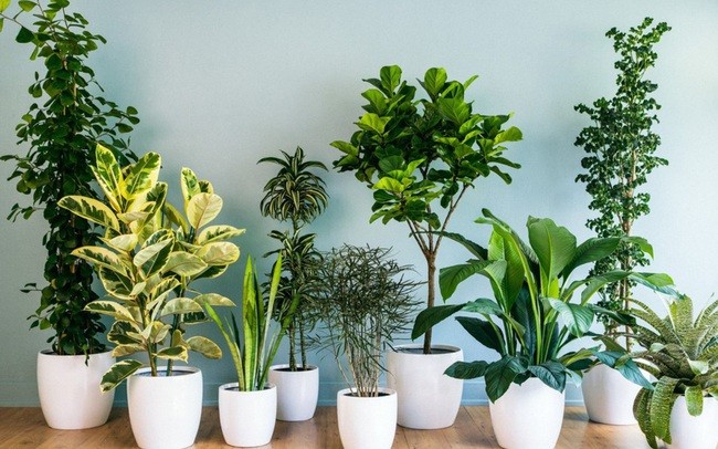 10 loại cây phong thủy trồng cho từng không gian của nhà phố, không cần nhiều ánh sáng, tưới ít nước vẫn tươi
