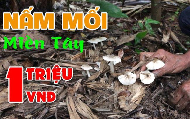 Việt Nam có loại nấm chỉ mọc hoang trong đúng 3 tháng, muốn hái không phải chuyện dễ nên giá bán lên tới cả triệu đồng 1 ký?