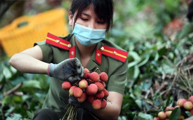Ảnh: Công an huyện Lục Ngạn, Bắc Giang chung tay thu hoạch vải cùng bà con ngay từ đầu vụ