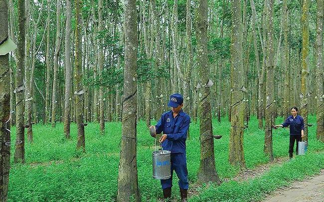 Cao su Tây Ninh (TRC) báo lãi quý 2 chỉ hơn 3 tỷ đồng, giảm gần 80% so với cùng kỳ 2020