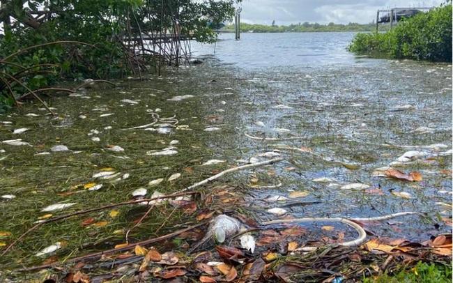 """Mỹ: """"Thủy triều đỏ"""" dữ dội làm chết 600 tấn cá ở bang Florida"""