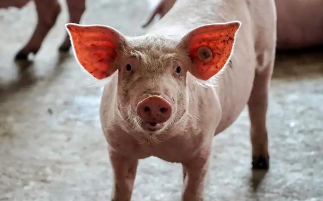 Khủng hoảng ngành chăn nuôi lợn ở Trung Quốc: Nông dân làm gì cũng lỗ