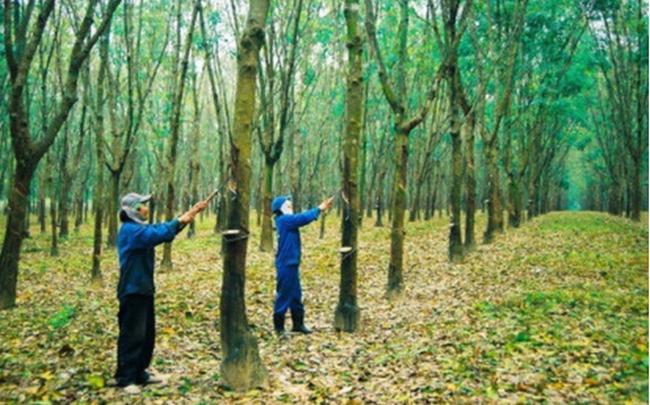 Vietnam Rubber Group (GVR) chốt danh sách cổ đông chi 2.400 tỷ đồng trả cổ tức