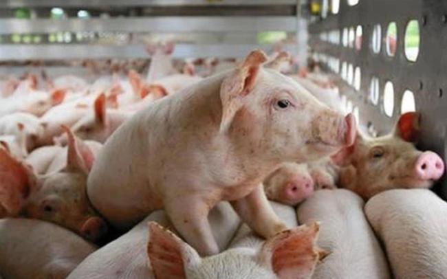 Một doanh nghiệp chăn nuôi chốt quyền nhận cổ tức bằng tiền tỷ lệ gần 83%