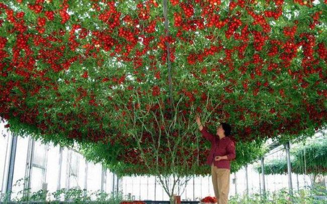 Lóa mắt với giống cà chua cho quả chi chít đỏ rực khắp giàn, lập kỷ lục thế giới với 32.000 quả một vụ