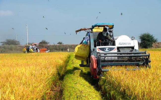 Giá lúa giảm mạnh giữa mùa thu hoạch, đề xuất Chính phủ mua tạm trữ hỗ trợ nông dân