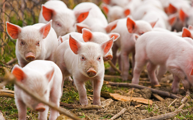 Giá thịt lợn giảm sâu để lại các nhà sản xuất hàng đầu Trung Quốc với đống nợ vay tăng gấp 3 lần