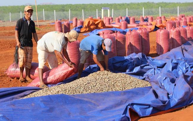 Lượng hạt điều nhập khẩu từ Campuchia cao bất thường: Dấu hiệu DN né thuế?