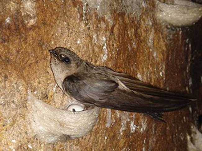 Siết lại điều kiện nuôi chim yến