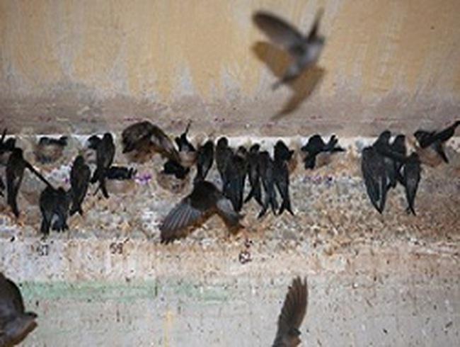 Từ 6/9: Muốn nuôi chim yến phải được sự đồng ý của UBND cấp huyện