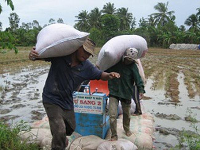ĐBSCL: Lúa rớt giá, nhà nông thắc thỏm