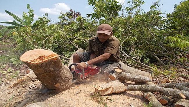 Vĩnh Long: Trên 900 ha nhãn bị đốn bỏ vì bệnh dịch