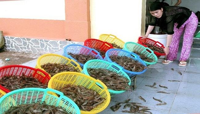 Giá tôm giảm mạnh khiến nông dân ở Cà Mau lao đao