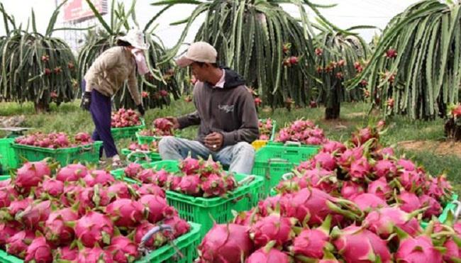 Xuất khẩu trái cây sang Trung Quốc: Chưa bị ảnh hưởng nhiều