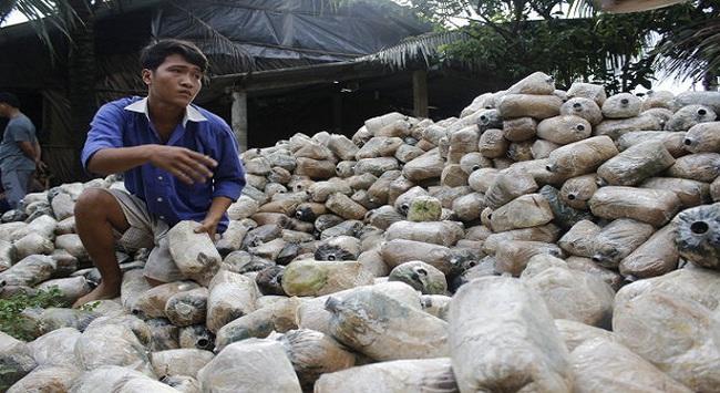 Nông dân ôm nợ vì phôi không cho nấm