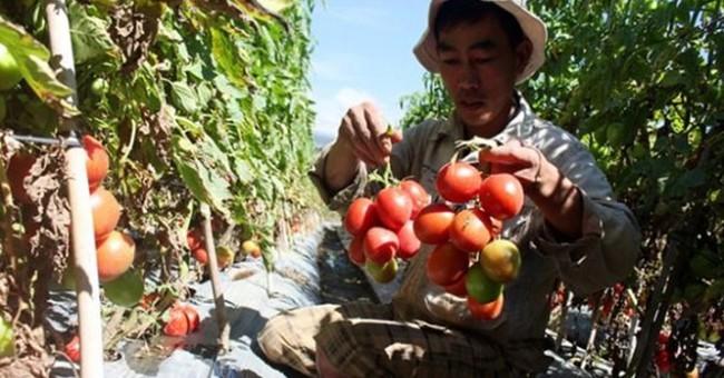 Cà chua Đà Lạt đổ bỏ: Các siêu thị lớn giải cứu