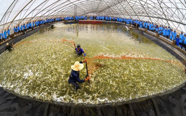 Tập đoàn Việt – Úc đạt nhiều chứng nhận khi ứng dụng công nghệ cao vào ngành tôm