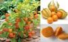 Đây là loại quả mà người Việt chỉ coi là cỏ dại, sang Nhật được tôn như