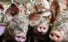 Trung Quốc cấm nhập khẩu thịt lợn từ Đức: Động thái bất ngờ làm