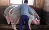 Đàn lợn của Trung Quốc