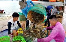 """""""Giải cứu"""" tôm hùm ở Phú Yên với giá rẻ chỉ là tin đồn thất thiệt"""