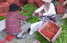 Nông dân Quảng Nam thấp thỏm vì vụ ớt rớt giá